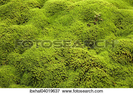 """Picture of """"Star Moss (Polytrichum), Reunion, France, Africa."""