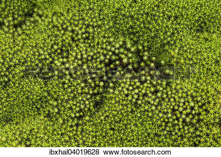 """Pictures of """"Star Moss (Polytrichum), Reunion, France, Africa."""