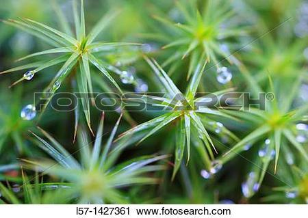 Stock Photography of Star Moss, Haircap moss, hair moss.
