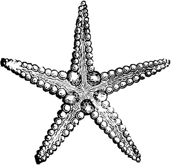 Starfish black and white clip art starfish black and white 2.