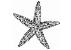 black and white starfish clipart.