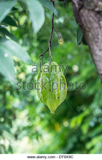 Star Fruit Tree Flower Stock Photos & Star Fruit Tree Flower Stock.