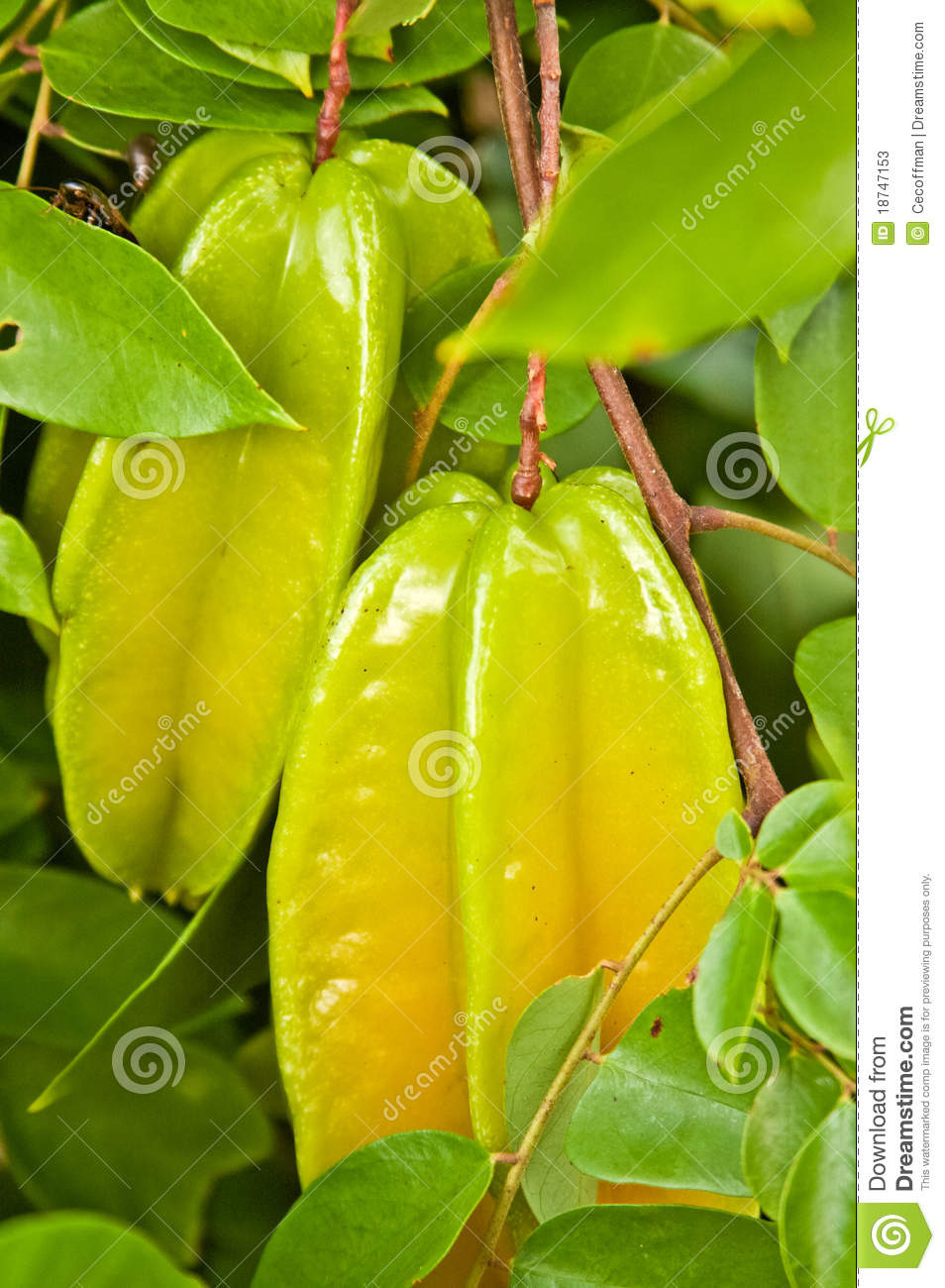 Starfruit On Tree Stock Photos.