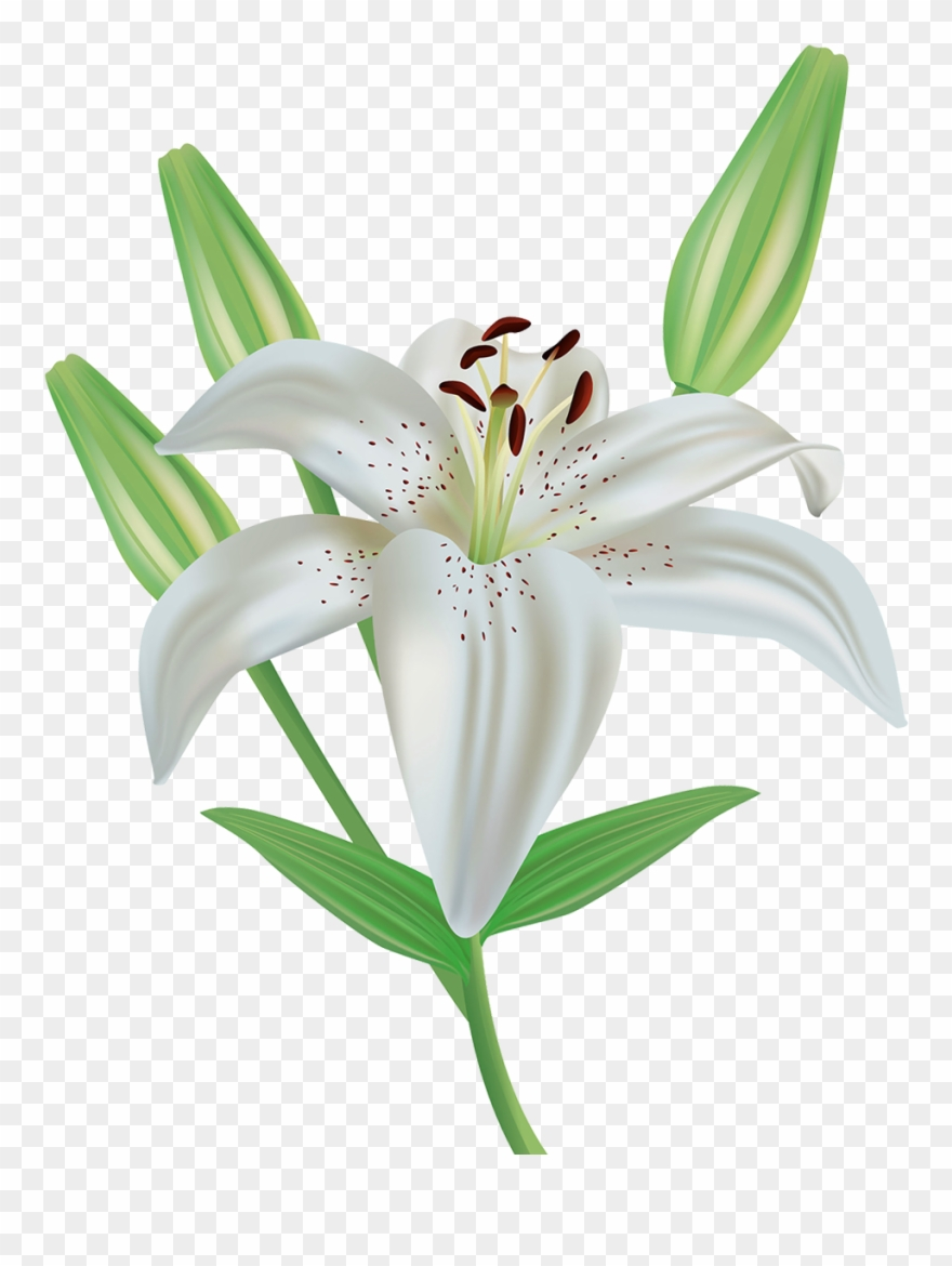 Orange Flower Clipart Stargazer Lily.
