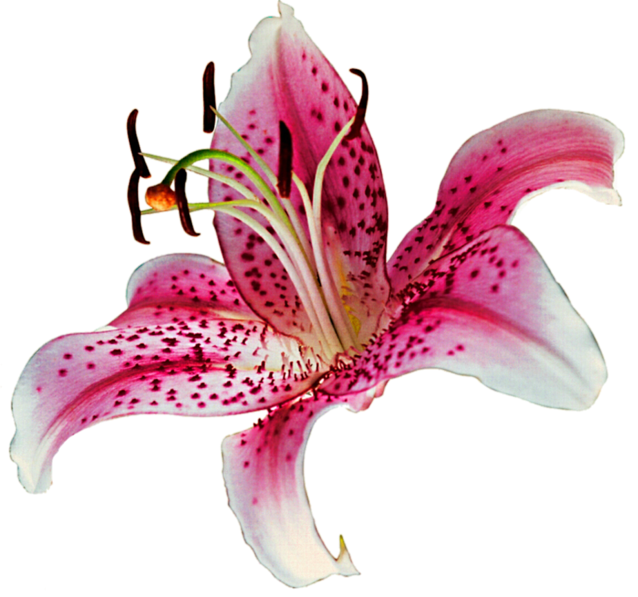 Stargazer lily clipart.