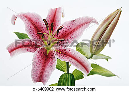 Stock Photo of Studio shot of open and closed Stargazer lilies.