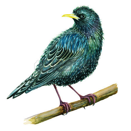 439 Starling Stock Illustrations, Cliparts And Royalty Free.