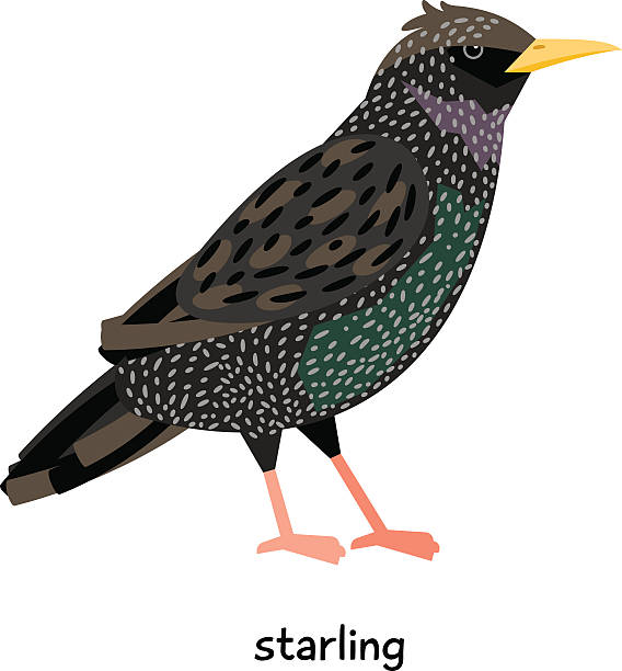 Starling Clip Art, Vector Images & Illustrations.