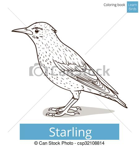 Vector Clip Art of Starling learn birds coloring book vector.