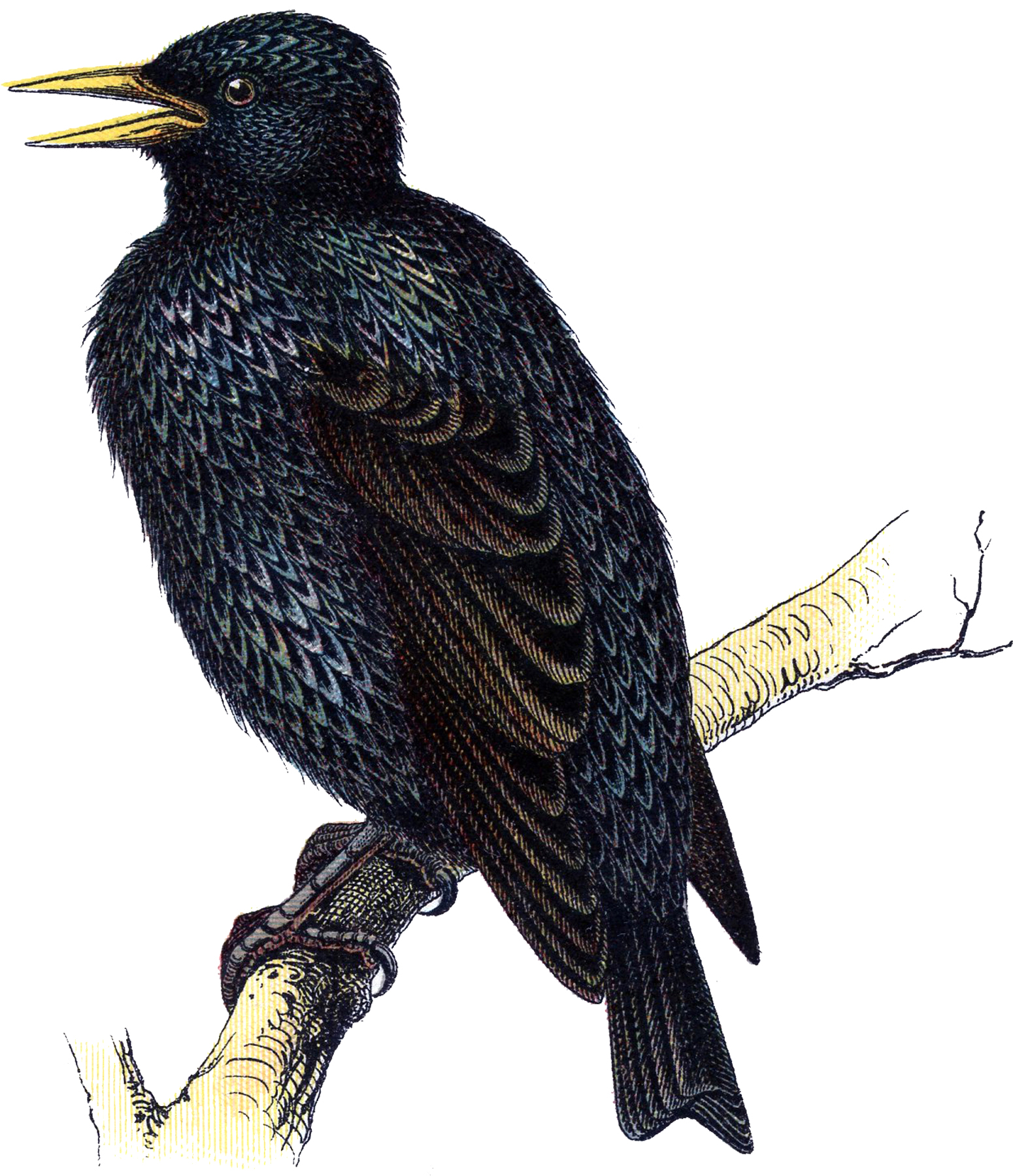 Wonderful Vintage Starling Bird Image!.