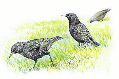 Starling Clip Art Download.