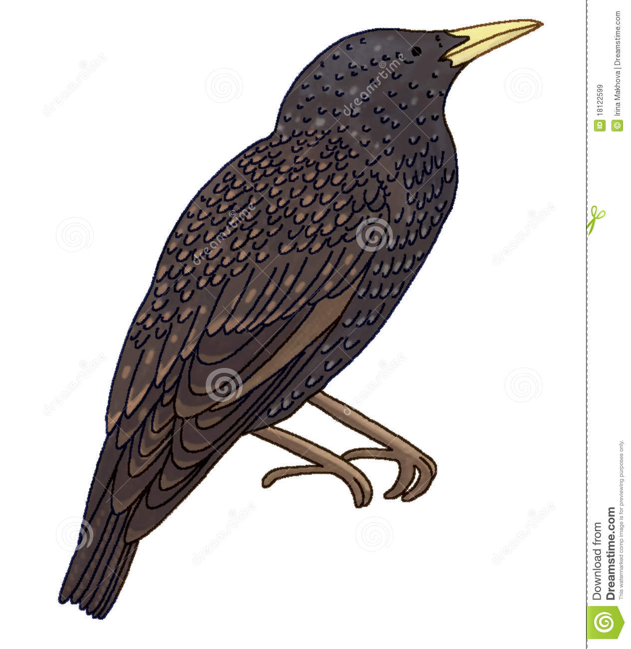 Starling Stock Illustrations.