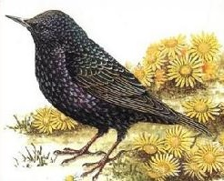 Free Starling Clipart.