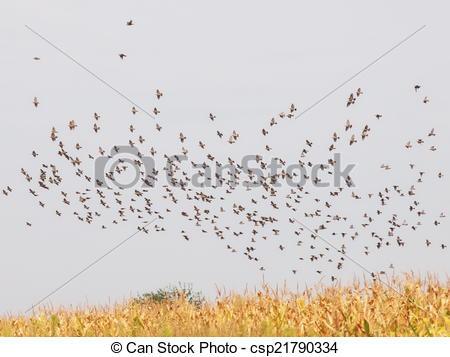 Drawings of Flock of birds, Common Starling ,Sturnus vulgaris.