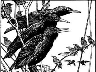 Starlings clip art.