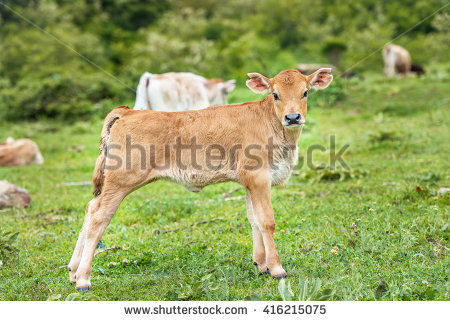 Newborn Calf Stock Photos, Royalty.