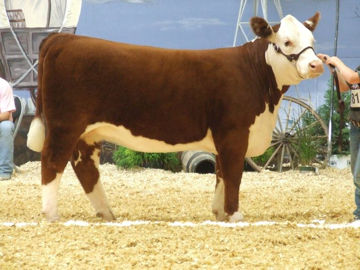 1000+ ideas about Calves For Sale on Pinterest.