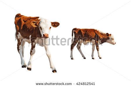Calf Front Stock Photos, Royalty.