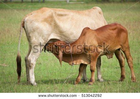 """newborn Calf"" Stock Photos, Royalty."