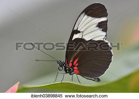 "Stock Image of ""Sapho Longwing (Heliconius sapho), State Garden."