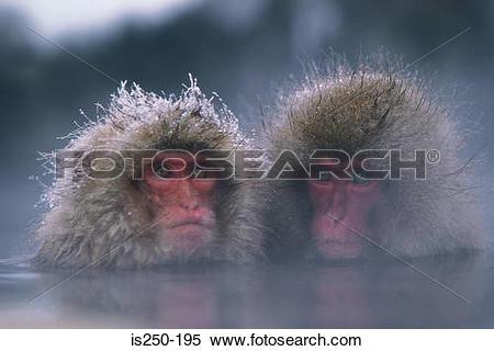 Stock Image of Two monkeys in steamy water is250.