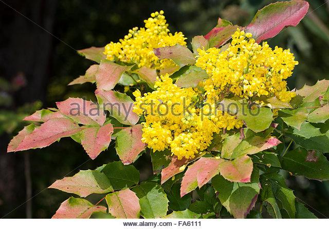 Mahonia Aquifolium Stock Photos & Mahonia Aquifolium Stock Images.