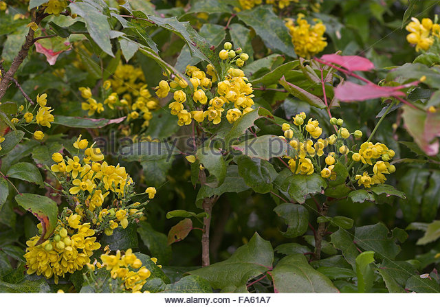Oregon Grape Berberis Aquifolium Mahonia Stock Photos & Oregon.