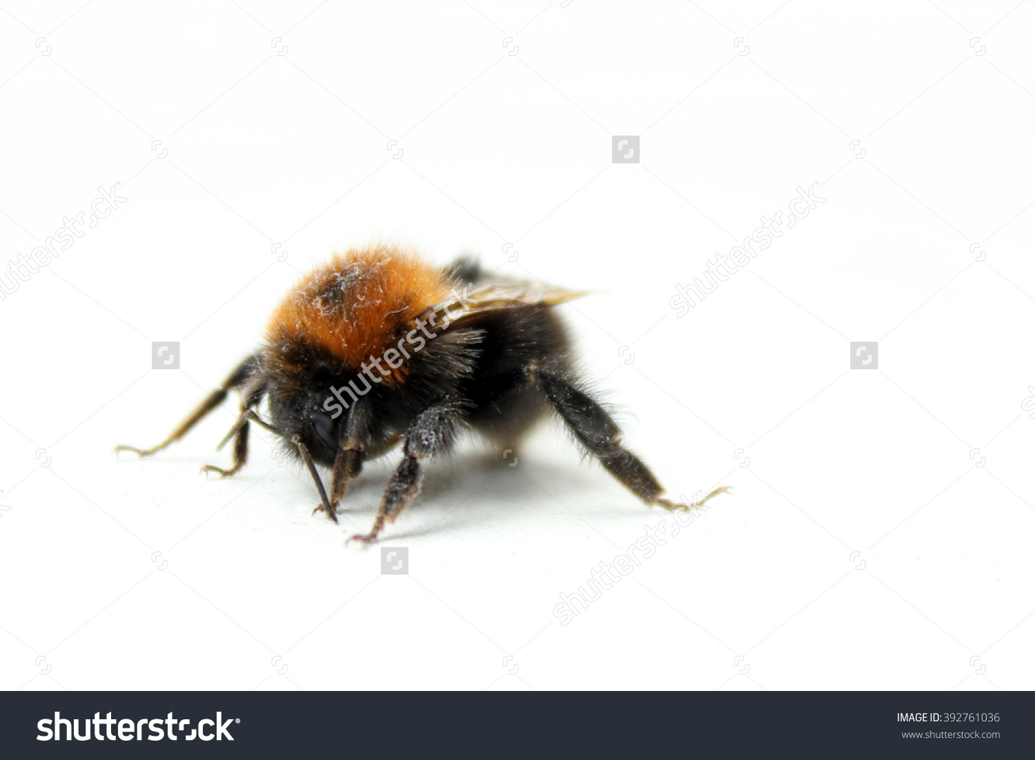 Bumblebee Stock Photo 392761036.