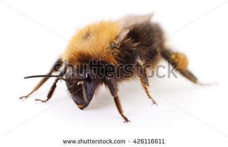 Bumblebee Stock Photo 392761036.