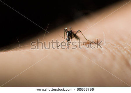 Aedes Mosquito Stock Images, Royalty.