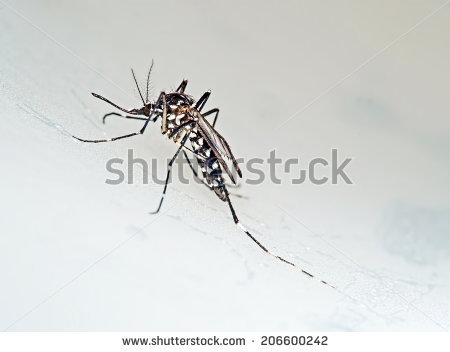 Albopictus Stock Photos, Royalty.