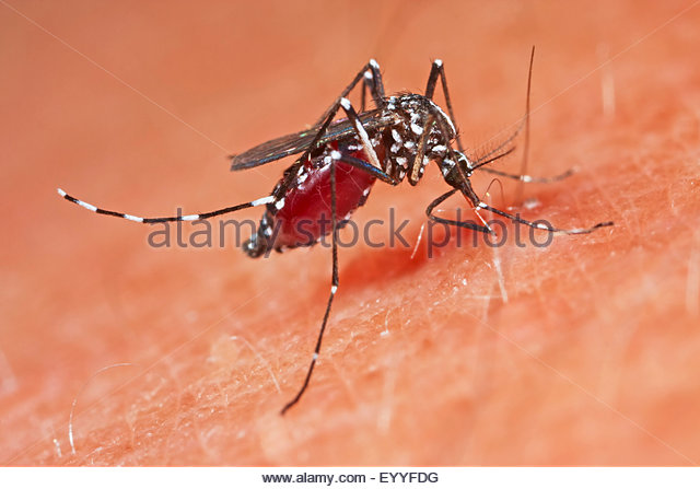 Dengue Fever Stock Photos & Dengue Fever Stock Images.