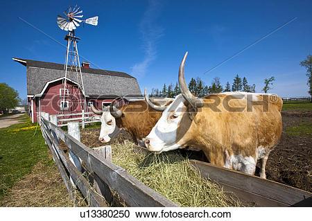 Stock Photography of Big horn steer, Mennonite Heritage Village.