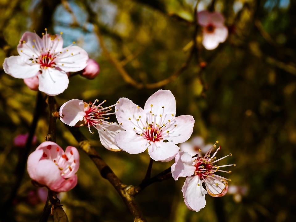 Almond, Blossom.