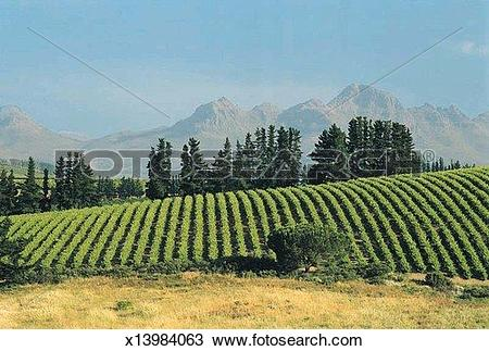 Stock Photo of Vineyard, Stellenbosch, South Africa, Africa.