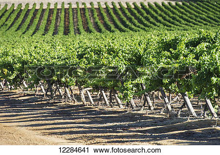 Stock Photography of Rows of vines in a vineyard; Stellenbosch.