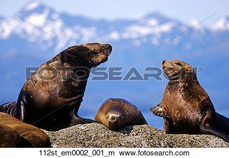 Stock Photo of Steller Sea Lions sunniing on a rock outcrop in.