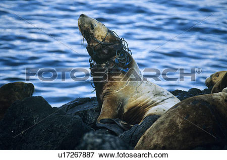 Picture of Steller Sea lions (Eumetopias jubatus), entangled.