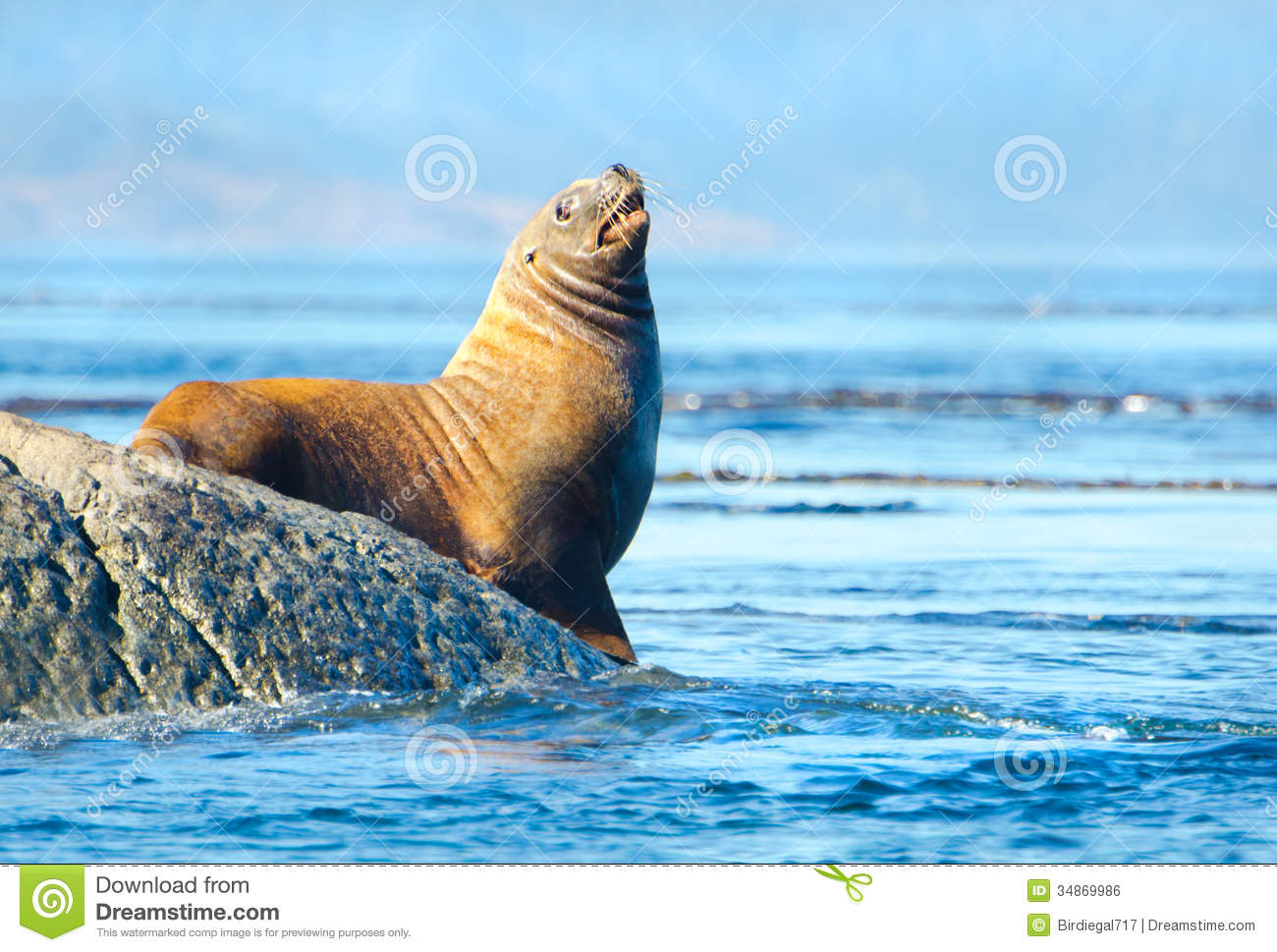 Steller Sea Lion Royalty Free Stock Image.