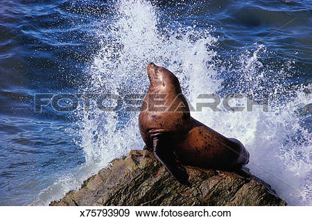 Stock Photograph of Steller sea lion (Eumetopias jubatus) on rock.