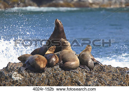 Stock Photography of Steller Sea lions (Eumetopias jubatus.