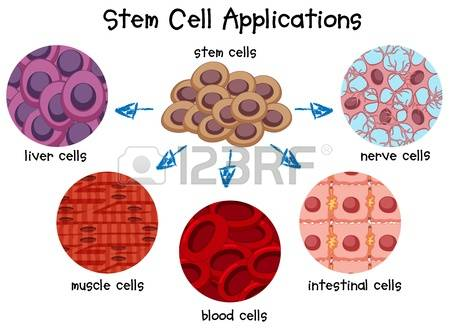 4,183 Stem Cell Stock Vector Illustration And Royalty Free Stem.