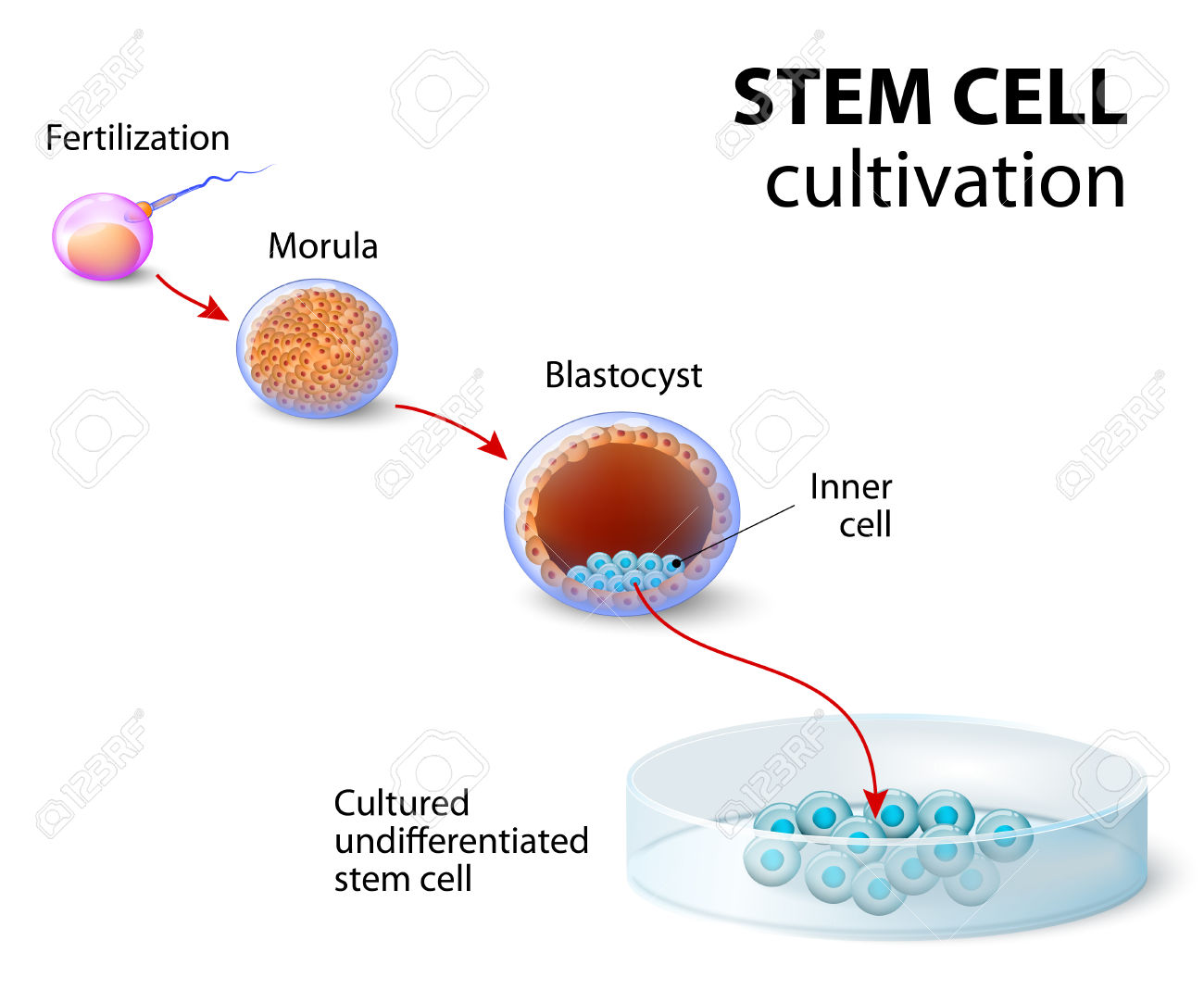 Stem Cell Cultivation. In Vitro Fertilization Of The Egg By A.