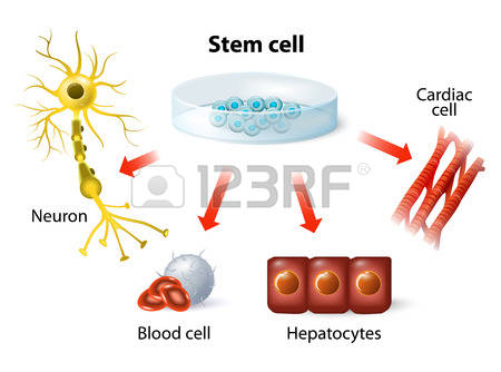 216 Blood Stem Cells Stock Vector Illustration And Royalty Free.