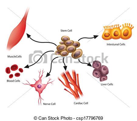 Stem cells clipart.