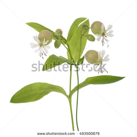 Stem less campion clipart #10