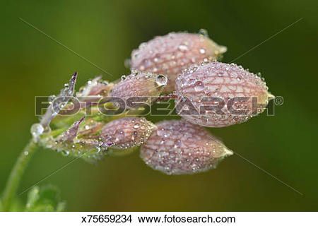 Stock Photo of Bladder Campion x75659234.