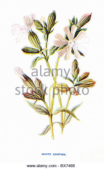 Campion Illustration Stock Photos & Campion Illustration Stock.