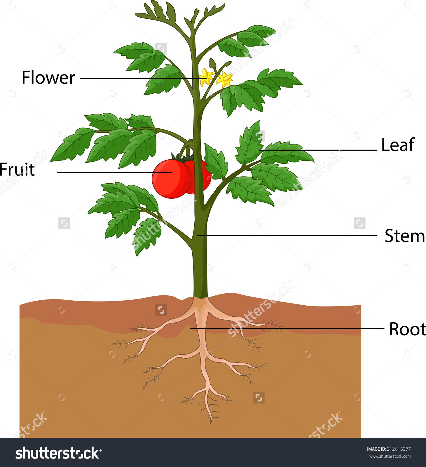 Illustration Showing Parts Tomato Plant Stock Illustration.