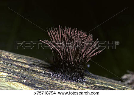 Stock Photo of Slime Mold fruiting body, Stemonitis sp x75718794.
